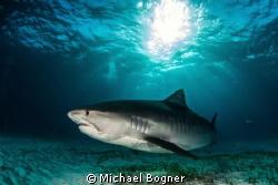 Tiger Shark @ Tigerbeach by Michael Bogner