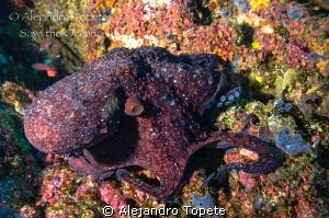 Octopus dance!!!!, Galapagos Ecuador by Alejandro Topete