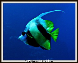 Bannerfish by Wijnand Plekker