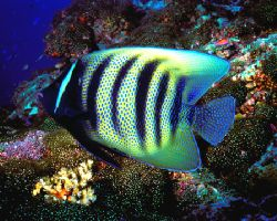Are the stars out tonight? 6 bar angelfish in Australia's... by Michael Canzoniero