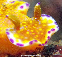 nudi face by Georges Boudron
