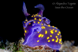 Nudibranch close up,La Paz Mexico by Alejandro Topete