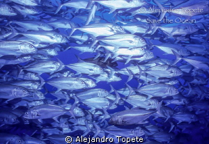 Jacks in front, Coco Island, costa Rica by Alejandro Topete