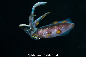 A reef calamari in night dive. by Mehmet Salih Bilal
