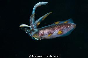 A reef calamari in night dive. by Mehmet Salih Bilal