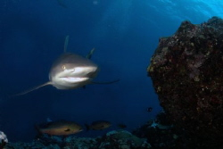 Shark dive (gray) at Vertigo, Yap, Micronesia by Martin Dalsaso