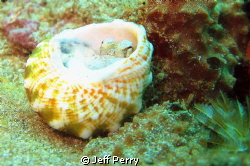 Baby Octopus by Jeff Perry