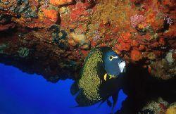 Angel Fish at Pedras Secas II - Fernando de Noronha Archi... by Eduardo Lima