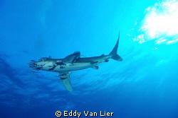 "Great Oceanic White Tip ""flying"" over my head at Deadelus... by Eddy Van Lier"