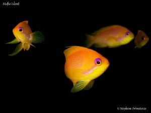 Anthias by Stéphane Primatesta
