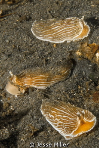 3 Striped Nudibranchs by Jesse Miller