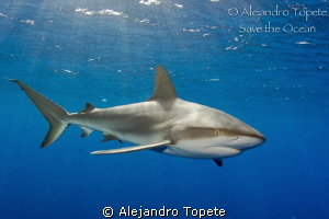 Shark encounter,Gardens of the Queen Cuba by Alejandro Topete