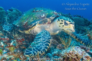 Turtle with peace ,Playa del Carmen Mexico by Alejandro Topete