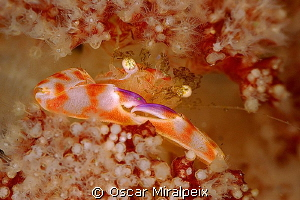Soft coral crab by Oscar Miralpeix