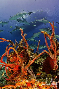 This image was taken on an afternoon of shooting Reef Sha... by Steven Anderson