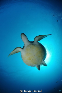 Green turtle by Jorge Sorial