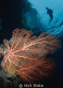 Corals and snorkeller, Misool, Indonesia. by Nick Blake