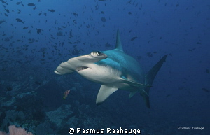 Solitary Hammerhead