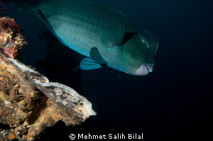 Bumphead in Liberty wreck. by Mehmet Salih Bilal
