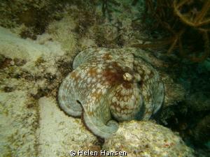 Common Octopus by Helen Hansen