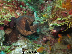 Bearded moray (& friends)