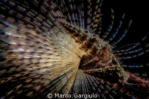 Pagurian on Sabella spallanzani by Marco Gargiulo