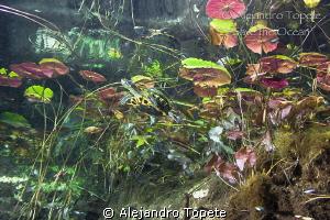 Turtle in Gran Cenote, Tulum Mexico by Alejandro Topete