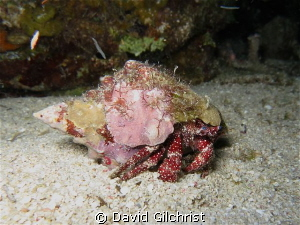 Hermit Crab on Night Dive, Canon S100, Waterproof Case, C... by David Gilchrist