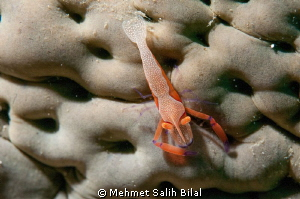 Imperial partner shrimp on the sea cucumber. by Mehmet Salih Bilal