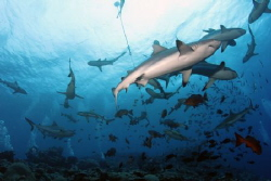 Shark Dive at Vertigo, Yap, Tokina 10 to 17mm w/ 1.6x Tel... by Martin Dalsaso