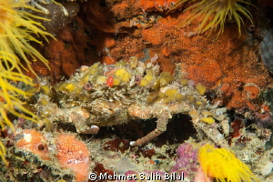 Decorator crab in nigt dive. by Mehmet Salih Bilal