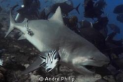 bull shark by Andre Philip
