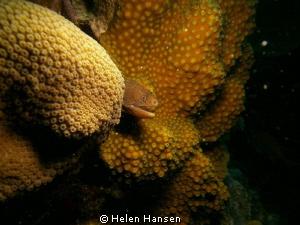 golden moray eel by Helen Hansen