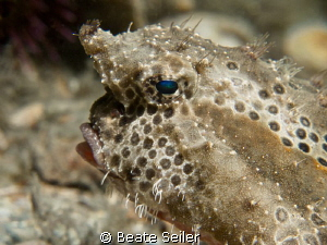 Polka-Dot-Batfish, taken at BHB by Beate Seiler