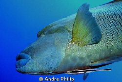 Napoleon wrasse - because of his nice tattos also called ... by Andre Philip