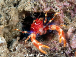 "Bug-eyed Squat Lobster (aka ""RoboCon"").  Lives in a vacat... by Robert Pooley"