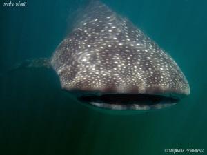 Whaleshark. by Stéphane Primatesta