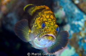 Little Mediterranean Grouper by Marco Gargiulo
