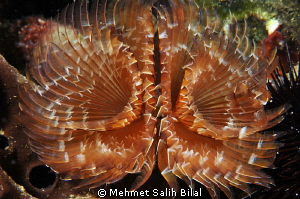 Tube worm in Saros by Mehmet Salih Bilal