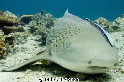 Leopard Shark with ramora & baby banded Trevally hiding u... by Miles Jackson
