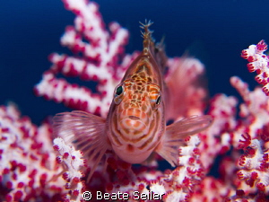 Hawkfish, taken at Alam Batu Housereef by Beate Seiler