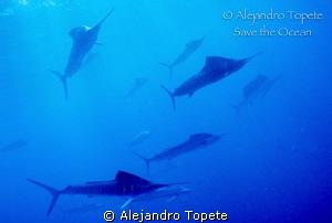 Sail fish Hunting sardine, Isla Mujeres  Mexico by Alejandro Topete