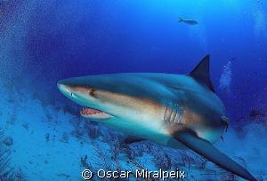 Bull shark by Oscar Miralpeix