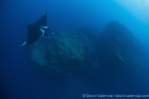 A Giant Pacific Manta swims over a cleaning station. The ... by David Valencia