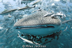 A beautiful Whale Shark gets swarmed by a huge school of ... by Miles Jackson