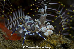 Harlequin shrimp with feather star
