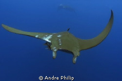 mobula ray with the traces of remoras on his skin by Andre Philip