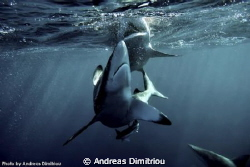 two sharks attack by Andreas Dimitriou