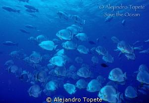 School  of Bat Fish, Sharm il Sheik by Alejandro Topete