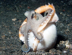 Coconut or Veined Octopus by Robert Pooley